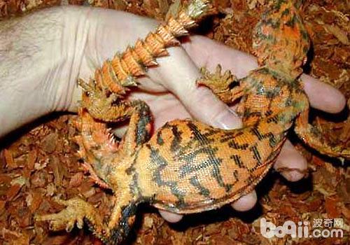 棘刺尾蜥_孔雀刺尾蜥有什么特征|爬虫养护-波奇网百科大全