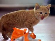 猫草合理的喂食方法是什么?