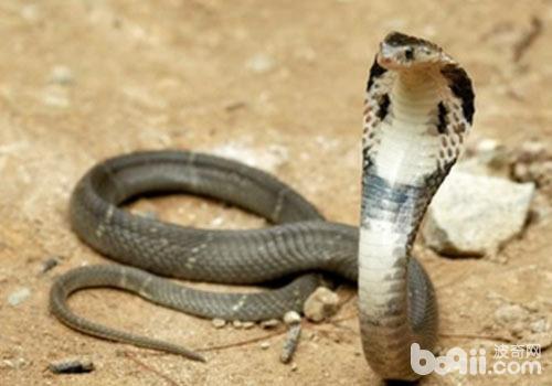 一般毒蛇不会轻易使用毒液