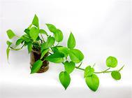"""植物如何预防""""空调病"""""""
