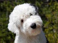 古牧犬严重胃扩张的诊治
