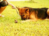 狗狗喜欢咬牵引绳怎么办