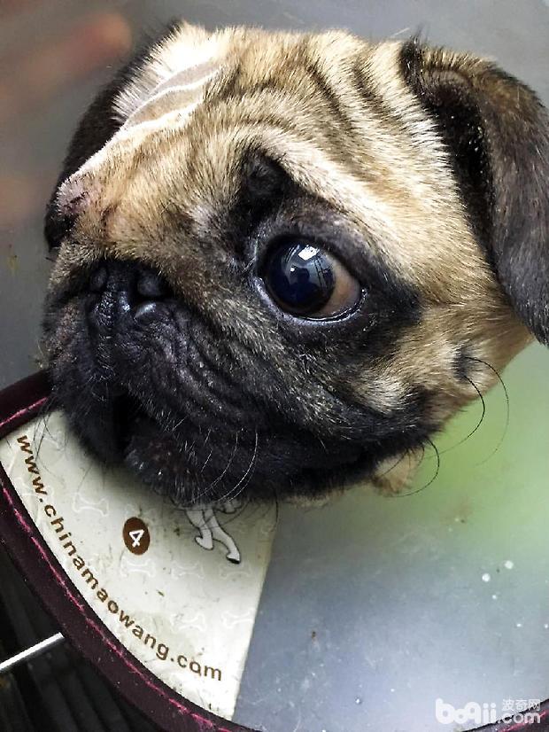 八哥犬眼球摘除术