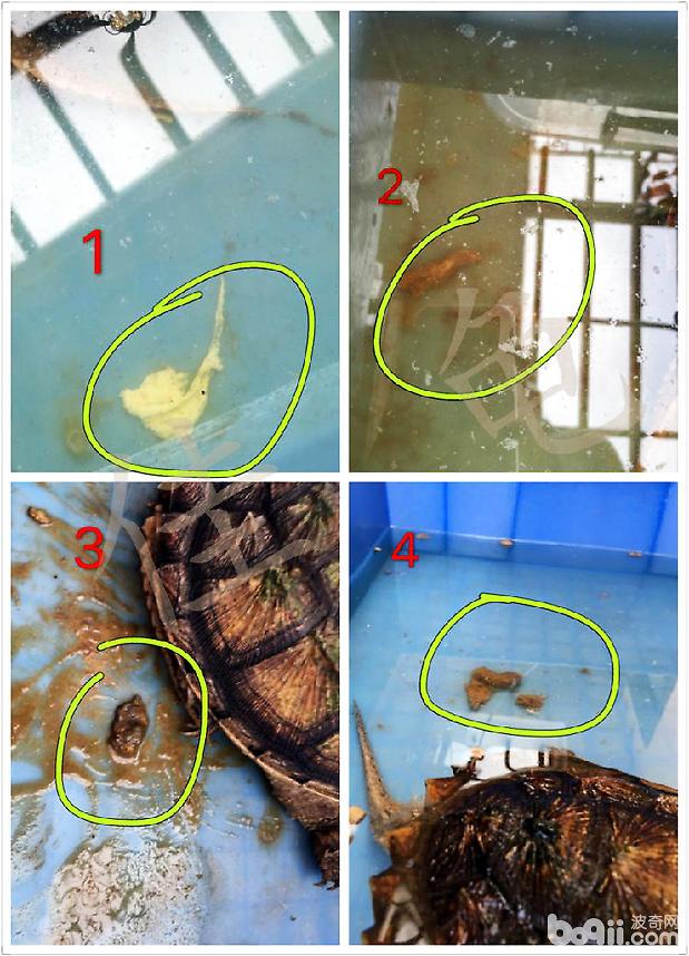 佛鳄龟绝食,全身溃烂病例报告