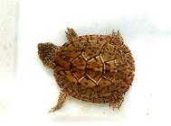 巨头蛋龟拉白便肠炎、绝食的病例报告