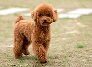 泰迪犬需要绝育吗