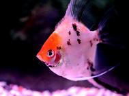 燕鱼繁殖要注意什么?