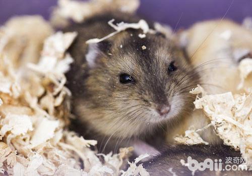 怎么有效清理仓鼠笼