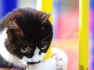 英短猫粮怎么选择?