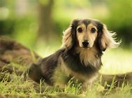 幼犬粮换成犬粮时的注意事项