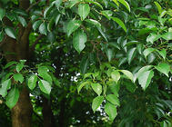香樟树的特点介绍