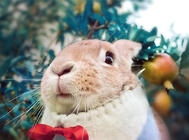 如何訓練寵物兔回兔子籠子