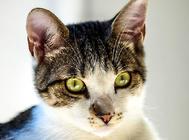 中国人适合养什么猫?