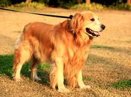 狗狗发胖有哪些危害
