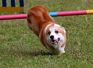 狗狗减肥 主人的参与至关重要