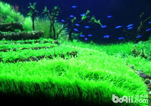 水族造景中幾種常見的水草栽種方法