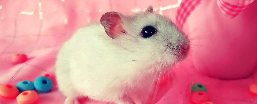 仓鼠是一种十分可爱的小动物