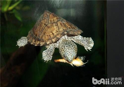乌龟不吃东西怎么办?