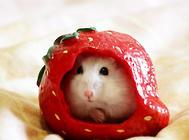 仓鼠夏季消暑的水果零食