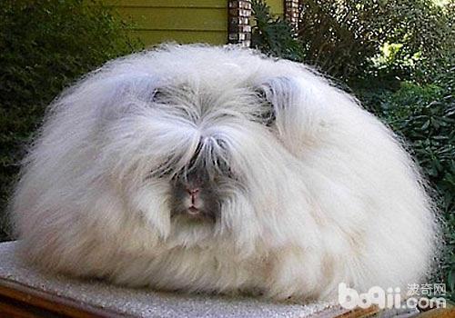 安哥拉兔真的像个球
