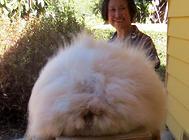 安哥拉兔的毛发能有多长