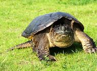 鳄龟常见症状及处理方法