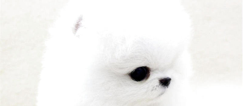 常见遗传病_博美犬一些常见的遗传疾病 狗狗常见病-波奇网百科大全