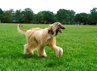 阿富汗猎犬为什么被禁养
