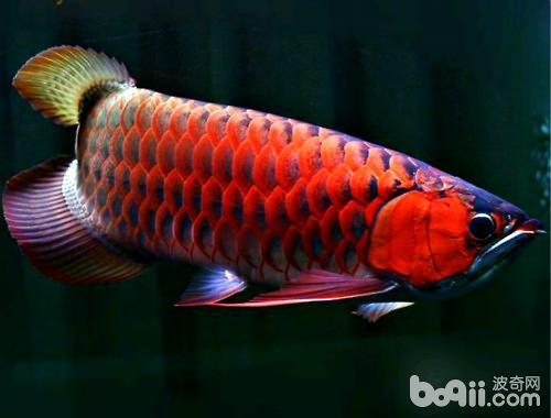银龙鱼饲养的注意点