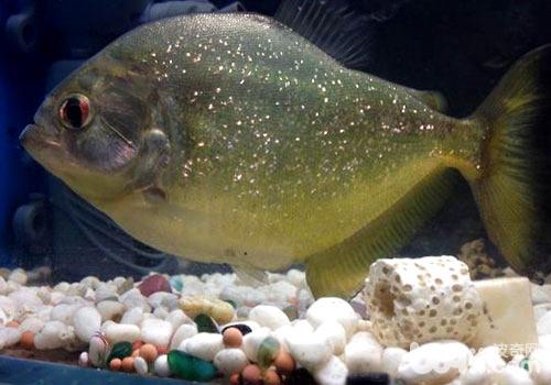 水虎鱼的分属有哪些?