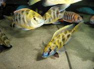 观赏鱼莫名死亡是什么原因?