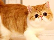 异国短毛猫去哪里买比较合适?