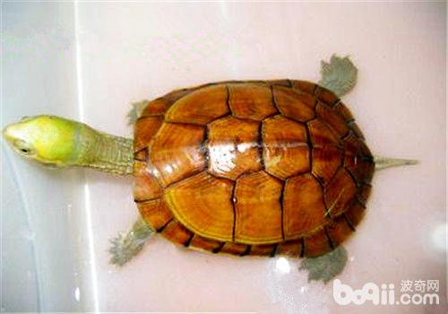 适合新手饲养的三种龟