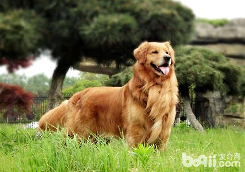 五种没办法加入警队的狗狗,竟然有金毛?