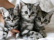 美国短毛猫的训练选择时机很重要