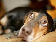 狗狗感冒、細小、犬瘟熱癥狀的區別