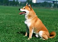 柴犬是全世界最幸福的小狗嗎?