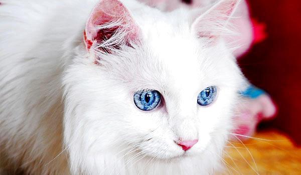 山东狮子猫波斯猫图片