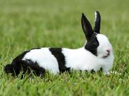 荷兰兔应该喂什么