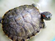 巴西龟冬眠温度不能太低