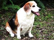 判断狗狗是否肥胖的三大方法