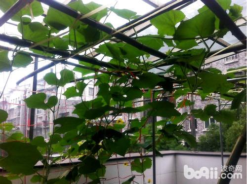 阳台上如何种植丝瓜