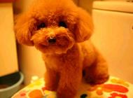 泰迪犬为什么会褪色?