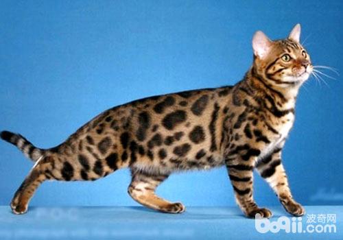 史上最贵的宠物之一:孟加拉猫