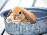 宠物兔果蔬喂养的注意事项