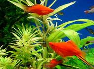 养鱼水为什么会变绿?