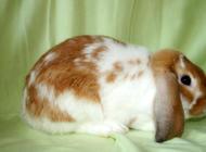 垂耳兔能长多大以及如何判断年龄