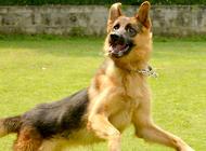 军犬之一的德国牧羊犬智商高吗?