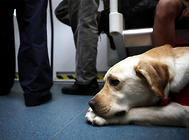 金毛和拉布拉多为什么适合成为导盲犬?