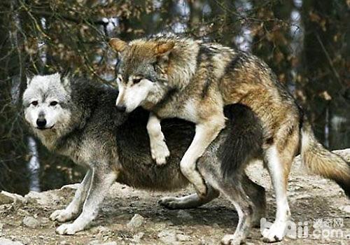 必威官网下载起源于狼吗?